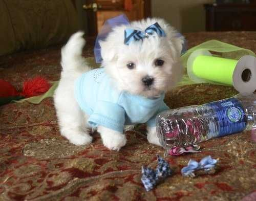 We Have A Male And Female Teacup Maltese Puppies For Adoption Vet Checked And Stocky Excellent Health Yorkie Puppy For Sale Teacup Yorkie Puppy Dogs And Kids