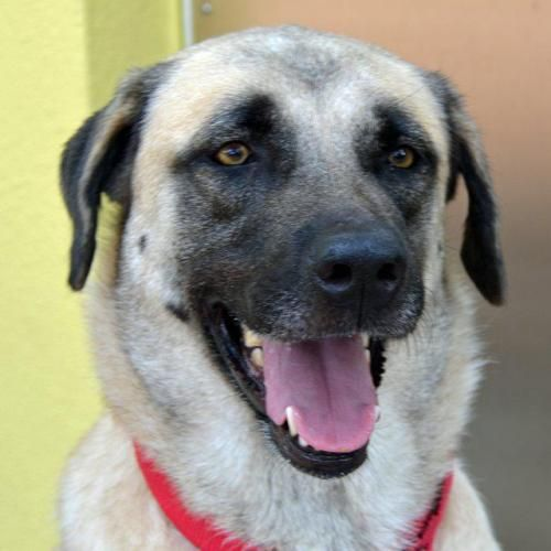 Sophie is an adoptable Anatolian Shepherd Dog in Saint Petersburg, FL Sophie is a 4 year old female Anatolian Shepherd mix. She is a big confident girl who would do  ... ...Read more about me on @petfinder.com