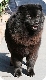 CALIFORNIA ~ Kai is a neutered #adoptable large #senior Chow Chow