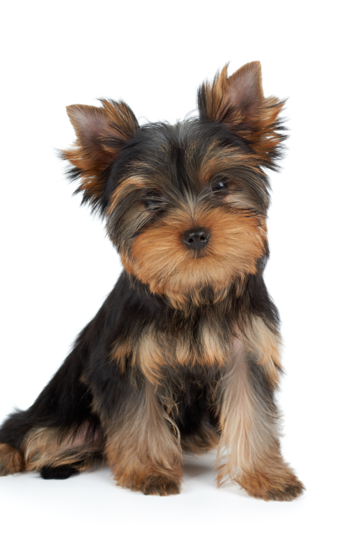 Very Cute Puppy Of The Yorkshire Terrier On White Yorkshireterrier Cute In 2020 Yorkshire Terrier Puppy Yorkie Yorkshire Terrier Puppies Yorkie Yorkshire Terrier