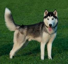 Adopt Zack On Siberian Husky Dog Husky Dogs
