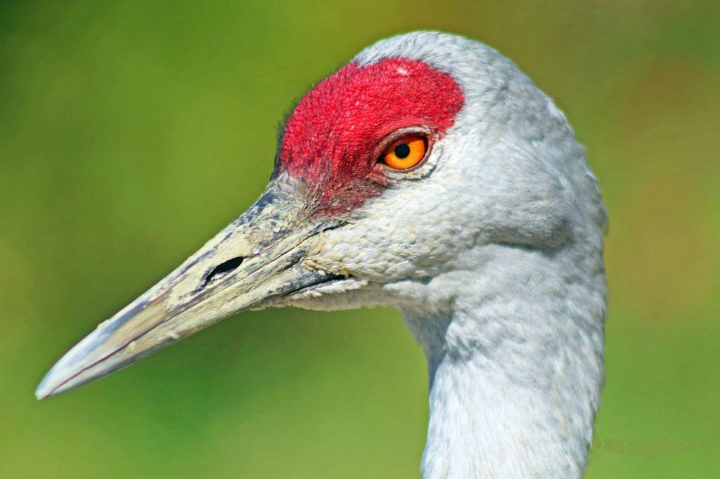 digitalmarbles posted a photo:  A closeup of a Sandhill Crane at the George C. Reifel Migratory Bird Sanctuary Delta BC Canada