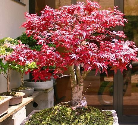 acer palmatum erable du japon tr dg rd pinterest acer palmatum japanese maple and plants. Black Bedroom Furniture Sets. Home Design Ideas