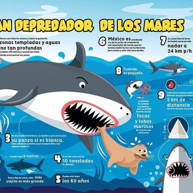 Infografía del tiburón blanco. IQ Junior / white shark infographic ...