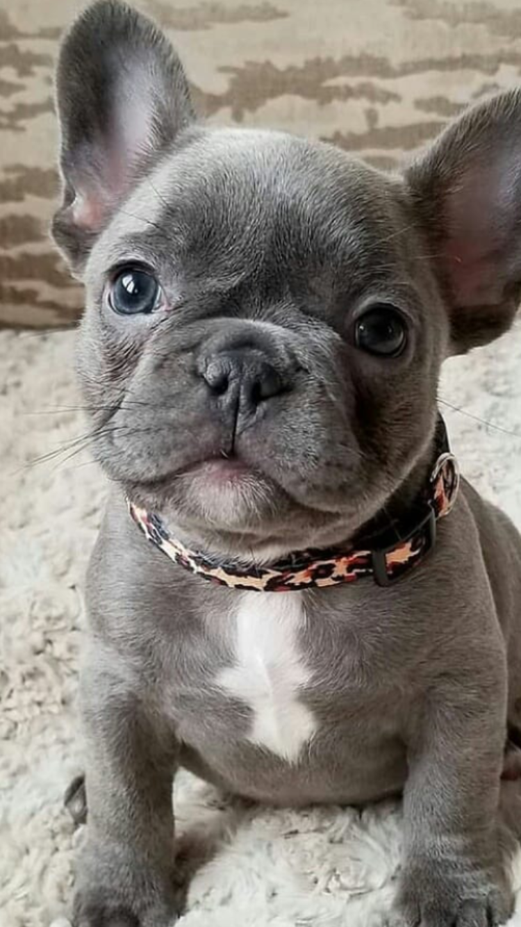 sweet blue french bulldog puppy. like the leopard collar on