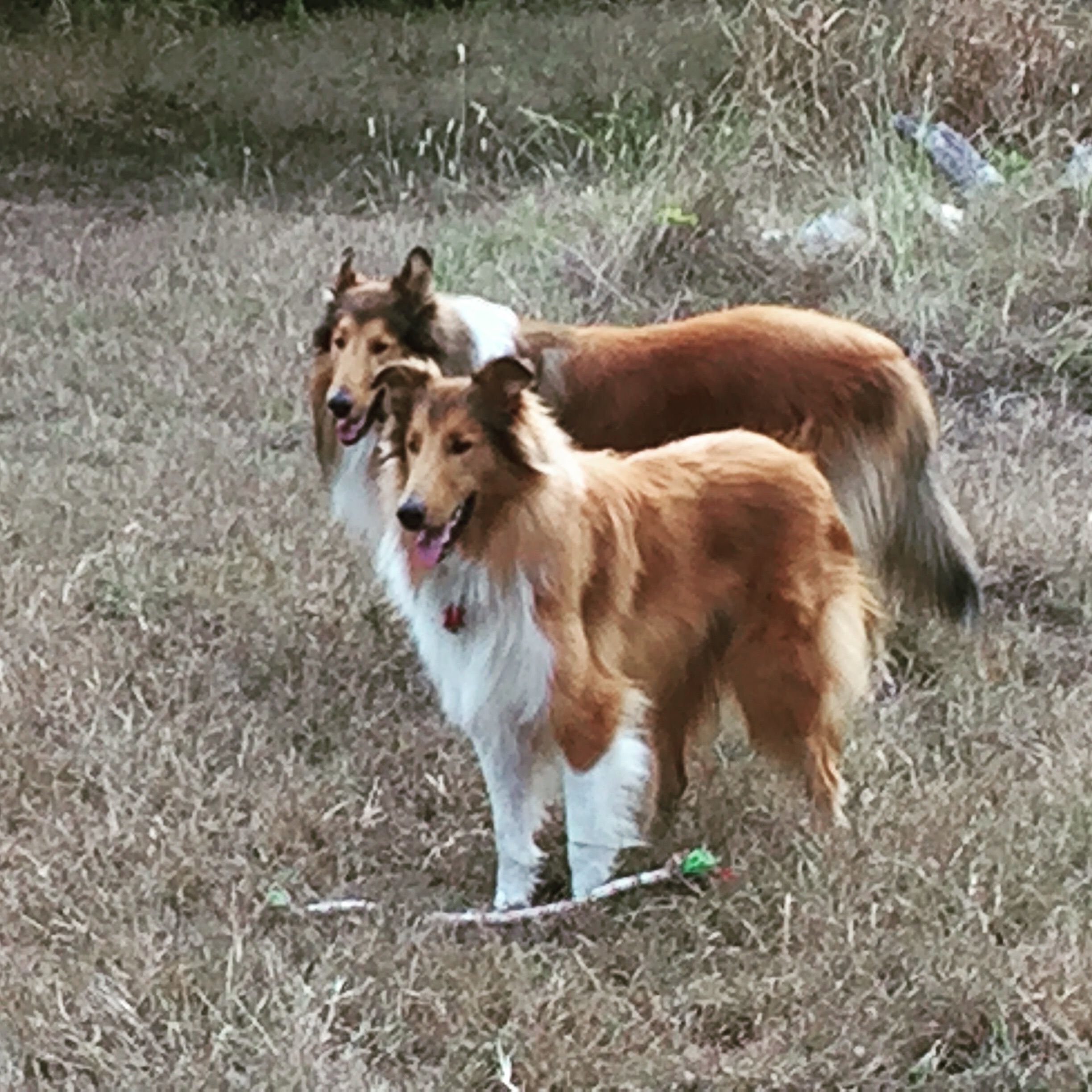 Pin By Christy Gauthier On Collies Rough Collie Beautiful Dogs Collie