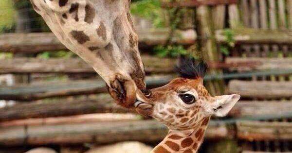 BestEarthPix: Giraffe Kisses https://t.co/kEpiU1IHNY https://t.co/goAPrWXKqy #OurCam #Photography #OurCam #Photography