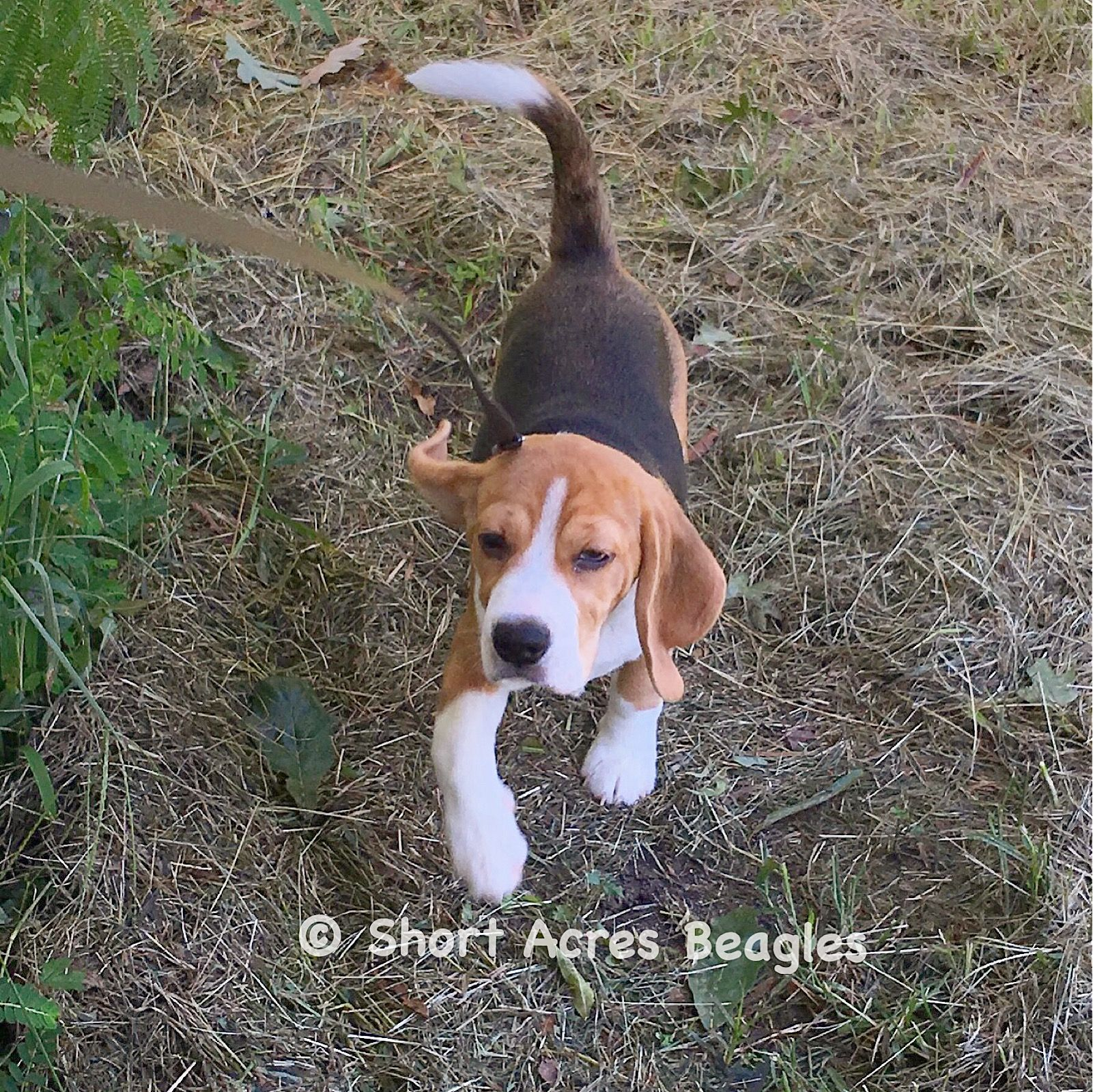 Pin By Beagle Planet On I Love Beagles Beagle Dogs Beagle Puppy