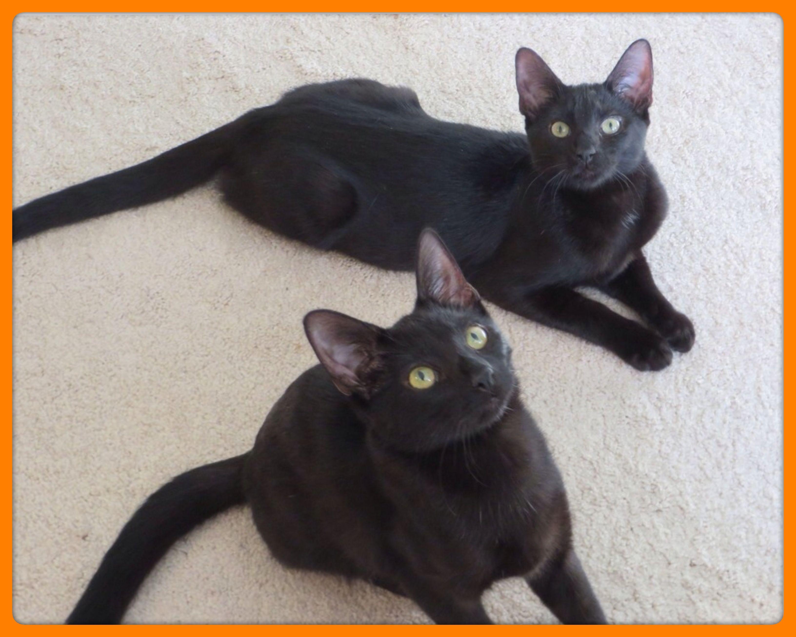 I found C60683 GiGi on Pets, Pet adoption, Animal shelter