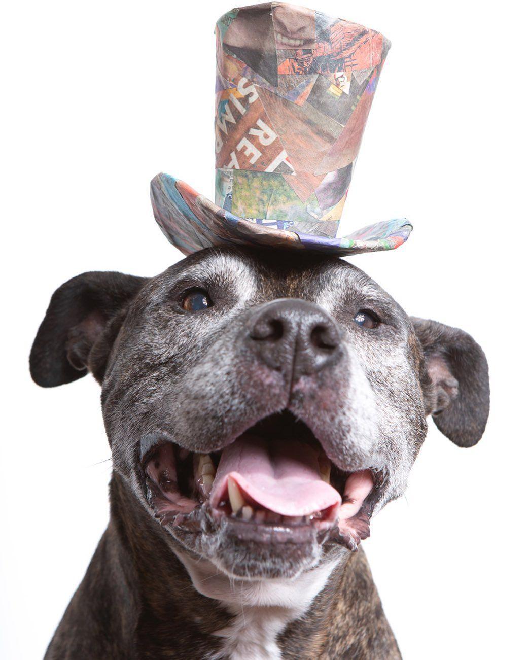 Dog With Hat Maker : maker, Happy, National, #nationaldogday, #dogs, #seniordog, #sugarface, #tophat, #hatmaker, #dogportrait, #dogphotograp…, Photograph,