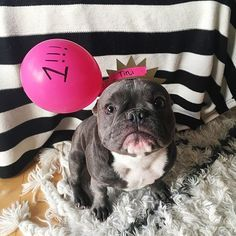 My Birthday Reaffirms The Fact That I Indeed A Princess Babys1stbday Puppylove Bluefrenchie Frenchiesof French Bulldog Blue Frenchie Bully Breeds