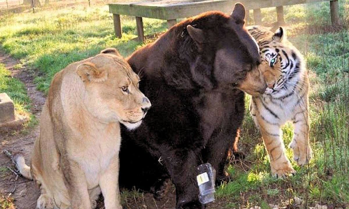 Baloo the American black bear, Leo the African lion, and Shere Khan the Bengal tiger eat, sleep and play together at Noah's Ark animal sanctuary in Georgia, USA