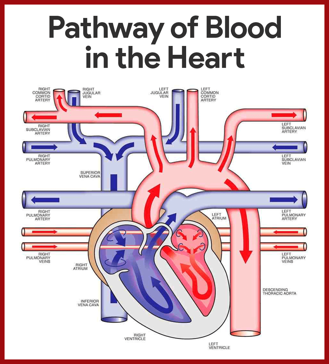 Pathway of Blood in the Heart Cardiovascular System Anatomy and ...