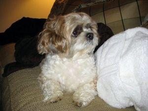 Adopt Tiko On Shih Tzu Dog Lhasa Apso Shih Tzu