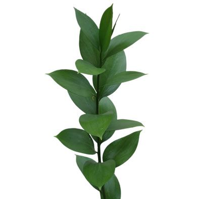Click To Enlarge Reviews Israeli Ruscus Premium Green