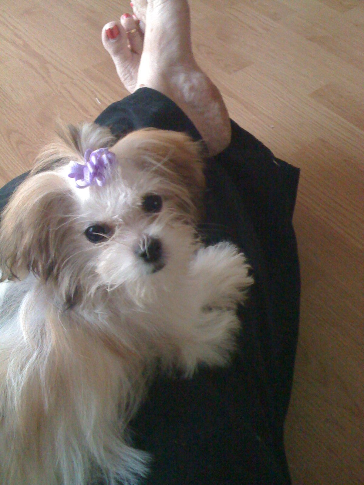 Mi ki puppy Looks like Bella! Puppies, Dogs and puppies