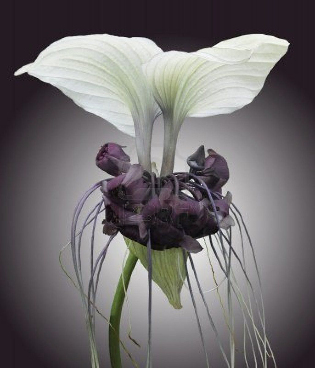 Bat Plant or Devil Flower, Tacca chantrieri, is native to Southeast Asia. Bat plants have black or white flowers; the flowers on both varieties resemble the wings and head of a bat with long filaments forming a tail.