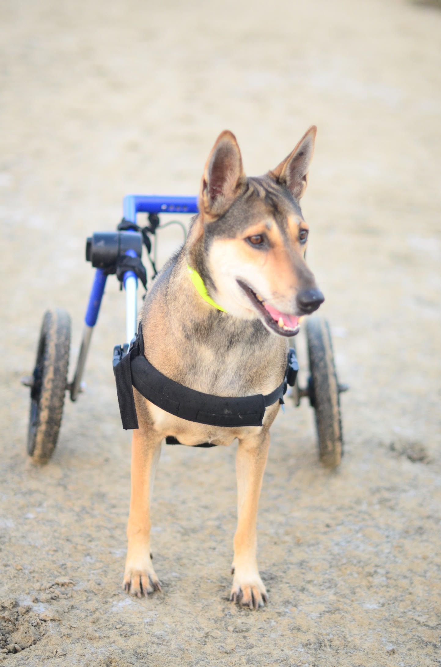 wheelchair dog fishing rocking chair walkin wheels medium coke from thailand in his