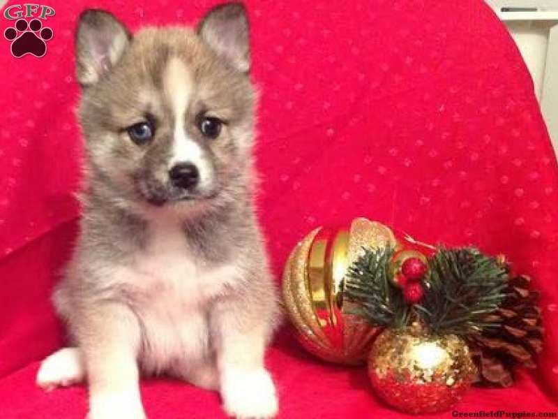 Shiloh, Pomsky puppy for sale Fresno, OH Pomsky puppies