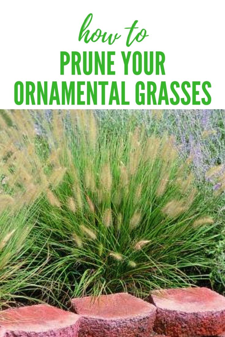 When To Prune Ornamental Grasses Ornamental grass pruning tip proplanttips pro plant tips from ornamental grass pruning tip proplanttips workwithnaturefo