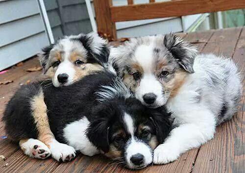 Aussie Pups Puppies Australian Shepherd Puppies Cute Dogs