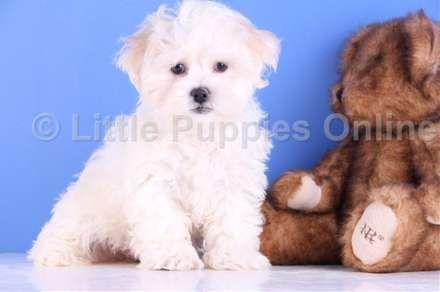 Hoobly Max Male Teddy Bear Teddy Bear Teddy Bear
