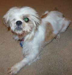 Adopt Wink On Shih Tzu Dog Shih Tzu Maltese Mix Shih Tzu