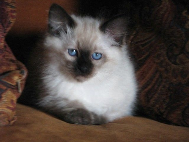 This Himalayian Cat Reminds Me Of My Friend S Cat Named Pooh Kitty Balinese Cat Raining Cats And Dogs Himalayan Cat