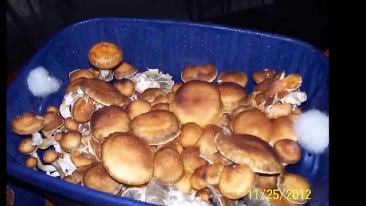 Huge Magic Mushroom Mono Tub Grow Documentary (Adults 18+) | ZM