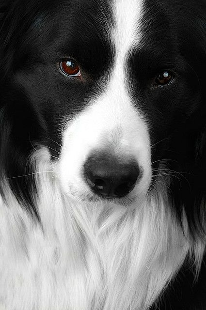 Border Collie Face Healthiest Dog Breeds Collie Dog Pets