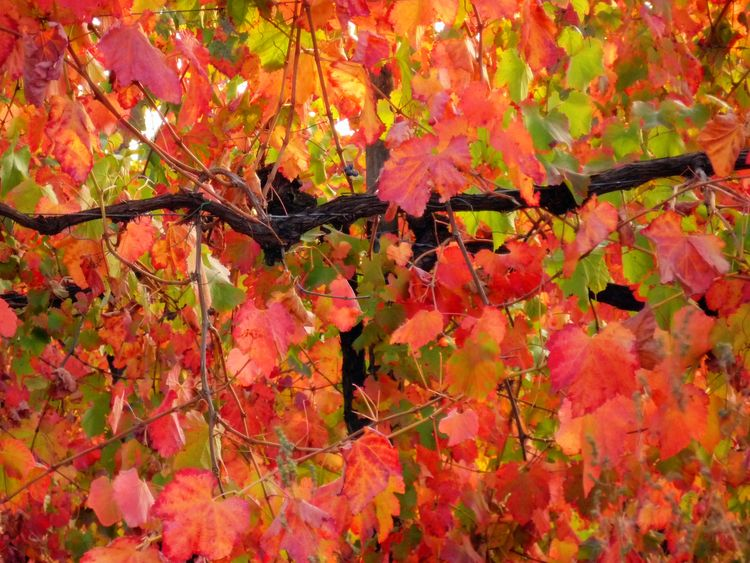 Grapevine Leaves - Bella Rosa (RE), Italy - October 2008 | Reggio Emilia | Italy | FotoDiSpalle