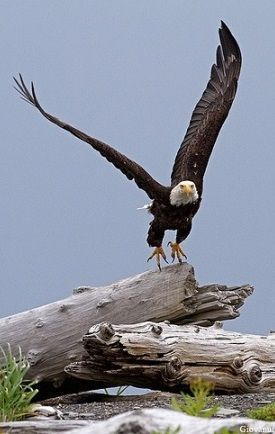 Eagles love storms  They use the wind to propel them higher than