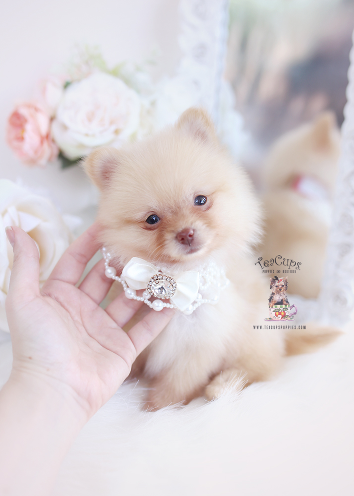 Cream Pomeranian Puppy For Sale Teacup Puppies 190 Pomeranian Puppy Pomeranian Puppy Teacup Teacup Puppies