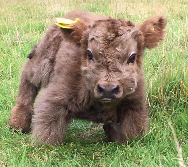 Baby Yak Too Cute Mit Bildern Susse Tiere Niedliche