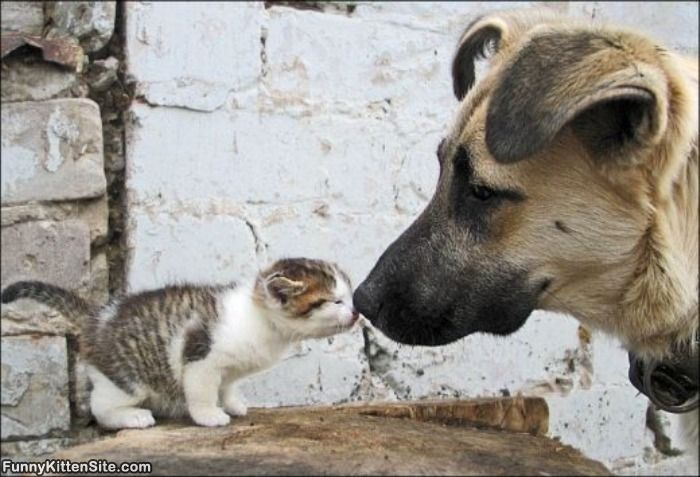 Результат поиска Google для http://www.funnykittensite.com/pictures/kitten_vs_dog.jpg