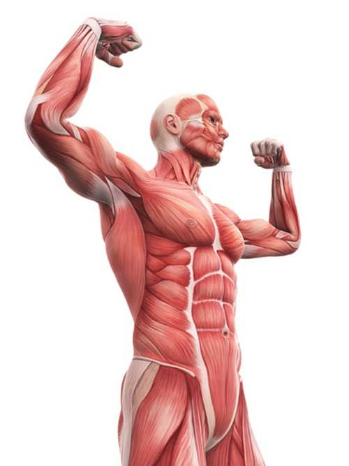 What is Fascia and How Does It Impact Your Fitness Training | Fascia ...