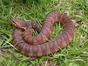 Species Profile Banded Watersnake Nerodia Fasciata Srel Herpetology Snake Reptiles And Amphibians Harmless Snakes