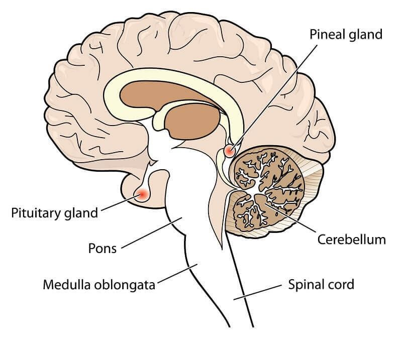 What Is The Function Of The Pineal Gland Fitnesseducation