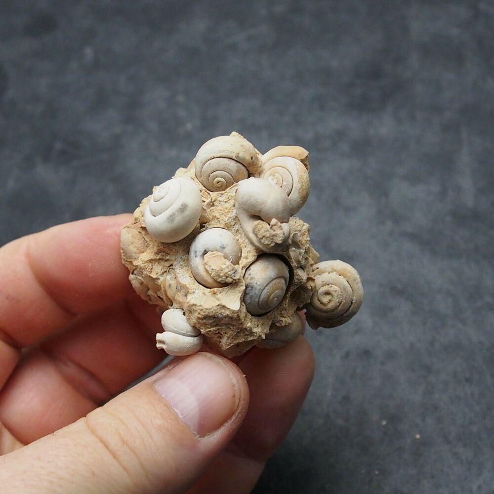 Gastropod Fossil mineral ploicene Morocco