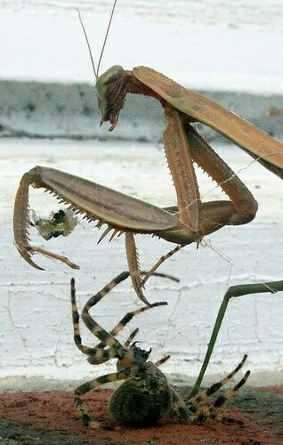 Praying mantis and spider fight.