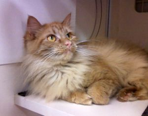 Adopt Parkins On Pretty Cats Cats And Kittens Beautiful Kittens