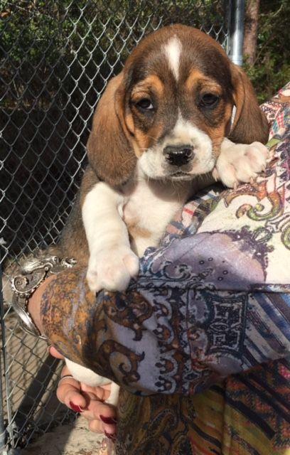 Beagle Puppy For Sale In Chunchula Al Adn 22752 On Puppyfinder