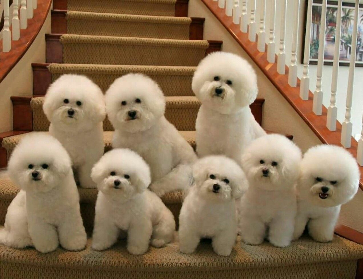 I Want Maltese Cute Baby Animals Bichon Dog Bichon Frise