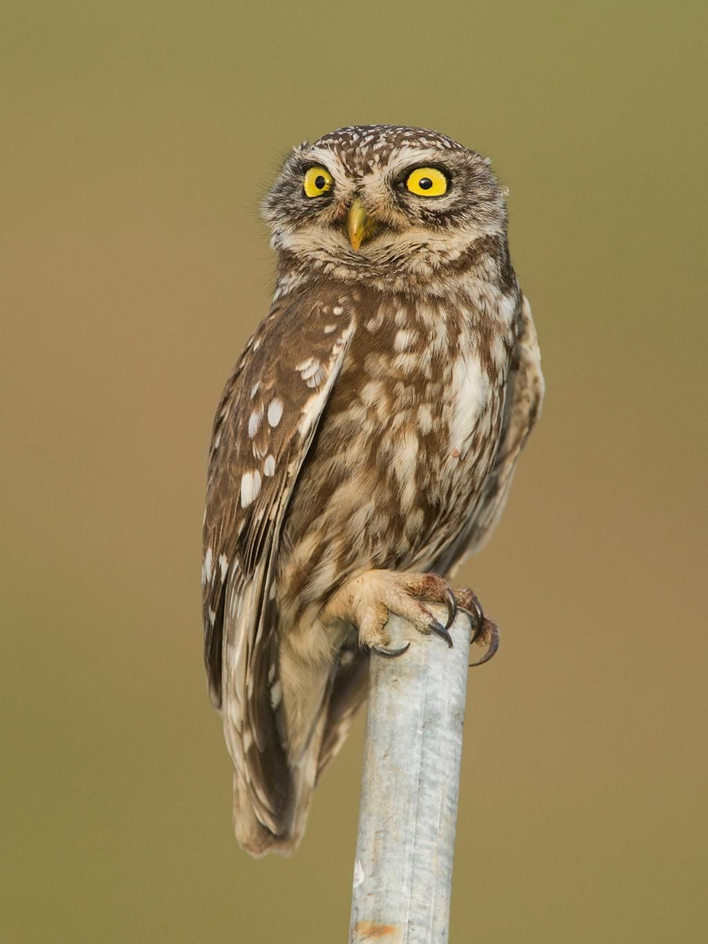 Oh No Not You Again By Jamie Macarthur On Deviantart Short Eared Owl Animals Cute Animals