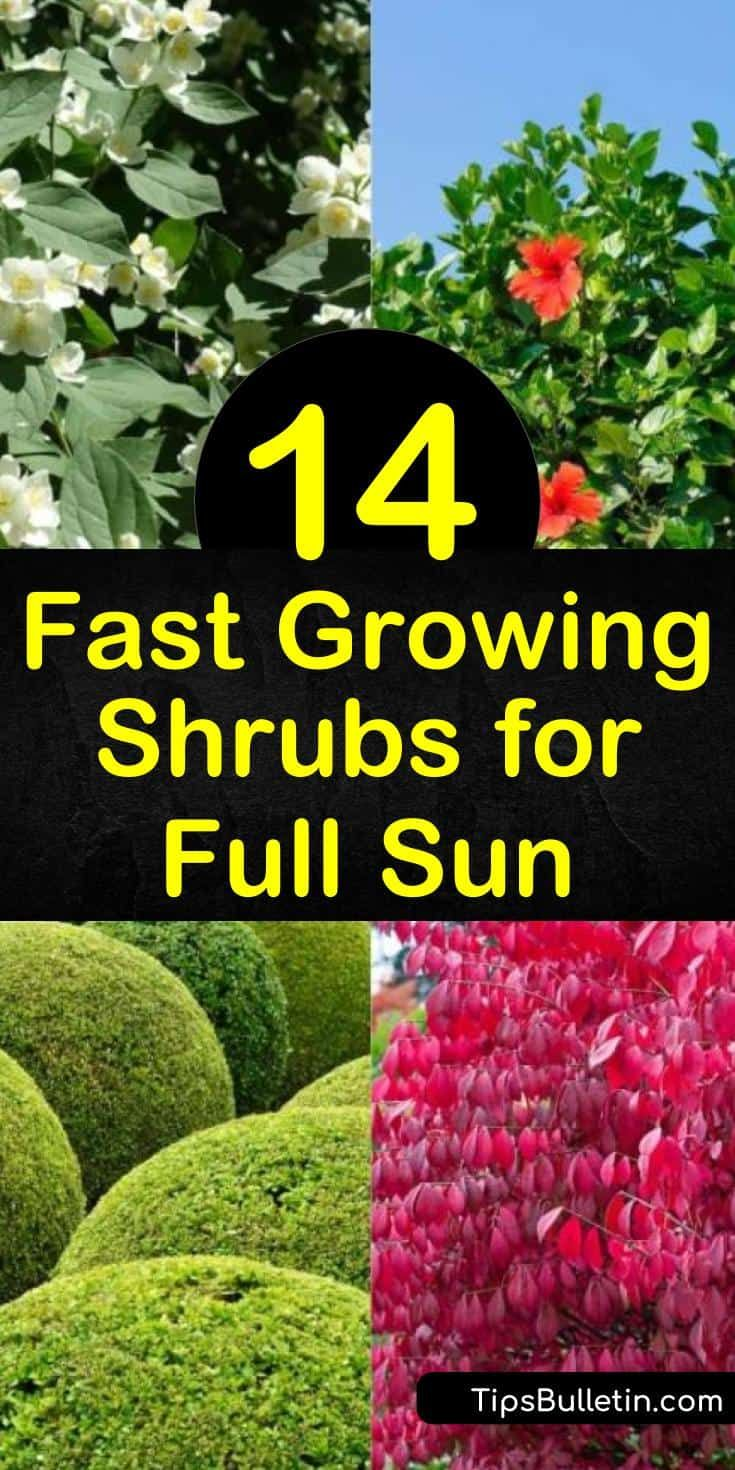 Photo of 14 Fast Growing Shrubs for Full Sun and High Impact