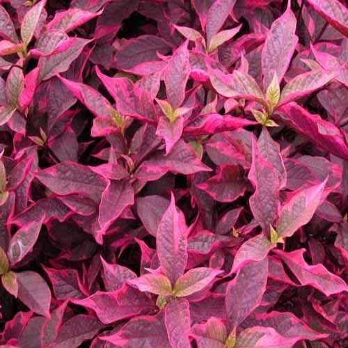 Brazilian Red Hots Alternanthera Gardening Pinterest Plants