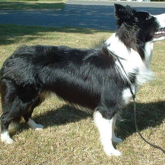 How Fast Can A Border Collie Run Border Collie Training