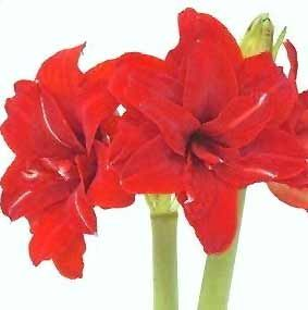 Amaryllis Tips Gardening Pictures Care Meaning Growing Amaryllis The Flower Expert Amaryllis Plant Amaryllis Christmas Amaryllis Flowers