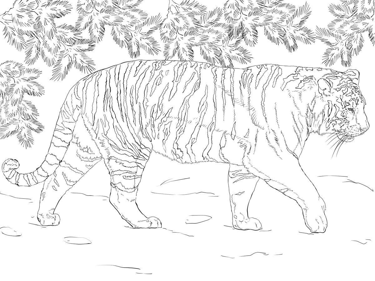Картинки амурский тигр распечатать