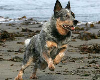 Love These Dogs Austrailian Cattle Dog Australian Dog Breeds